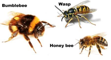 Bumblebee wasp honey bee
